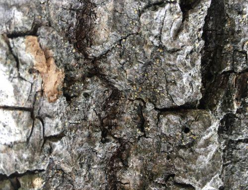 Caloplaca monacensis funnet ny for Norge i Oslo