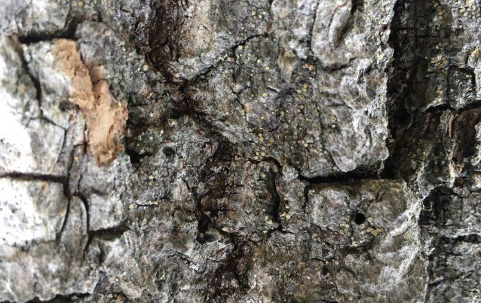 Bark med ny art for Norge i Oslo vest
