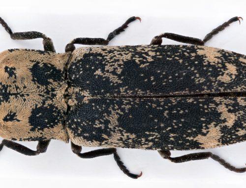 Trollsmeller – Danosoma fasciatum