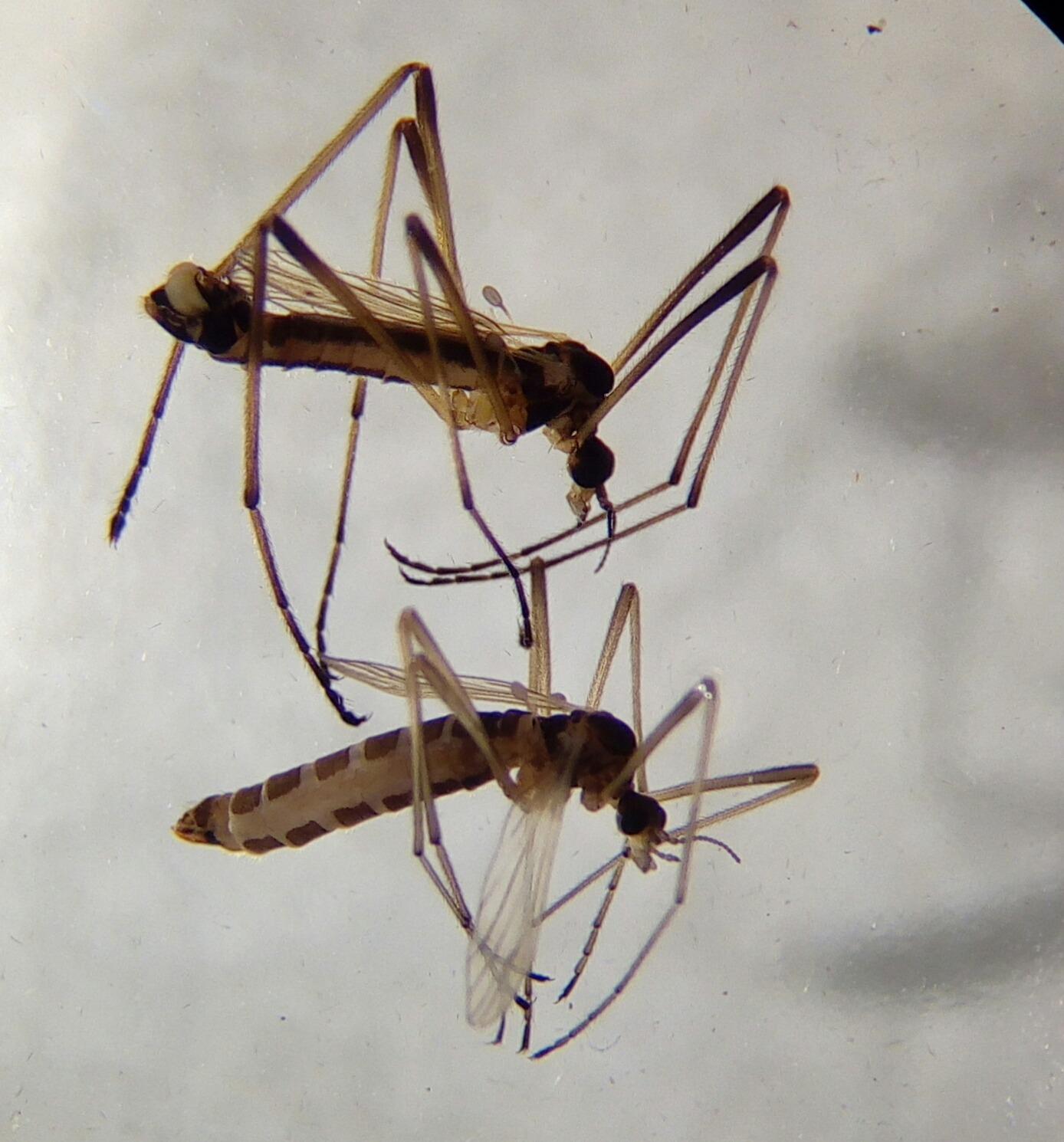 Hann (øverst) og hunn (nederst) av Dicranomyia melleicauda stenoptera
